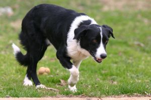 Border Collie Stock [Tex] 2 by HPsCopperMoments