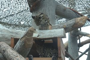 Clouded Leopards (5) by Razgar