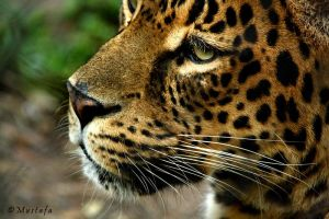 Jaguar by mystic552