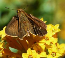 Skipper...on Cestrum by duggiehoo