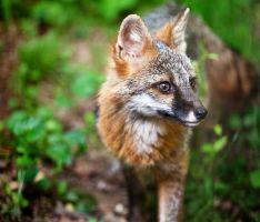 Red Fox by joepix