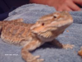 Duke the Bearded Dragon by Wilt1993