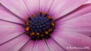 Purple Daisy Macro by BreeSpawn