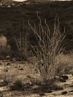 Ocotillo by DailyB