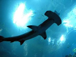 Great Hammerhead Shark by pcoppolo46