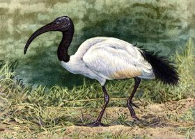 Sacred Ibis by WillemSvdMerwe