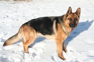 German Shepherd Stock 014 by EssenceOfPerception