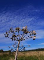 dried hogweed by Blue-eyed-Kelpie