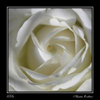 Rose : serie IV by melaniep