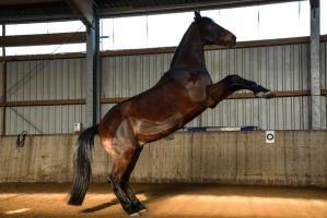 Free Dressage - Bay Horse Rearing by LuDa-Stock