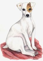 Jack Russell by redderz