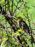 Yellowhammer by 75ronin