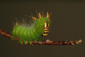 Imperial Moth Caterpillar by Tucky13