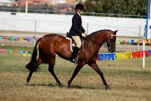 Show bay trot side on ridden by Chunga-Stock