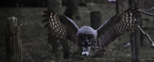 Great Grey Owl II by ChrilleKroll