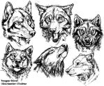 Wolf Studies 9-30-2014 by teagangavet