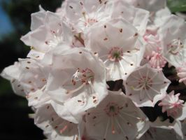 Mountain Laurel Blossom 02 by Geak-of-Nature
