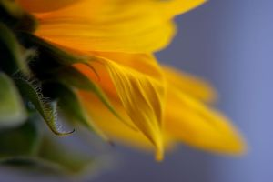 Sunflower ... from the other s by AgataSwat