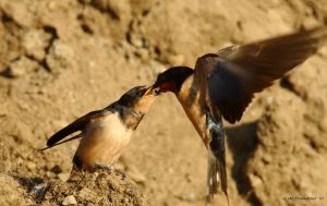 Bank Swallow Chick being fed 1 by natureguy