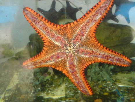 sea star by Humanis