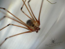 Pholcus phalangioides - Cellar Spider by TheFunnySpider