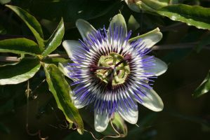 the beauty of a passion flower 3 by ingeline-art