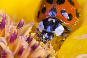 Asian Ladybird Beetle 02 by JohnSlaughter