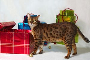 Bengal And Christmas Presents Stock by FurLined