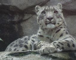 Misted Snow Leopard by ascenciok
