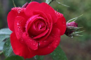 Rose Stock 10 by Malleni-Stock