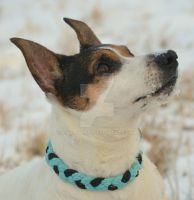 Rocky the Jack Russel by ChaosMissi