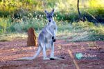 Grey Kangaroo by Iluvbiscuit2