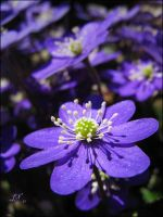 Hepatica II by JoannaMoory