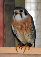 American Kestrel Stock 2 by LRG-Photography