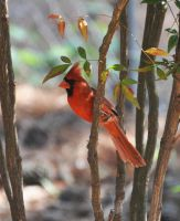 Male Cardinal 5-11-11 by Tailgun2009