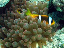 Clown Fish by Akamasdiver