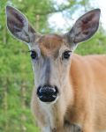 Cranbrook Deer by Fritters