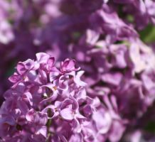 blossoms by albinomintoreo