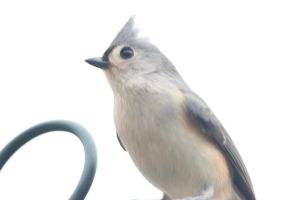 Titmouse by paws720