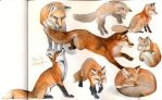 Red fox studies by spocha