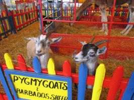 Pygmy Goats by kdawg7736