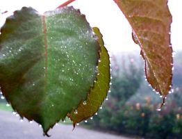 Dew Jewels On Leaves II 008 by Eolhin
