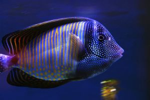 Red Sea Sail-fin Tang by RollingFishays