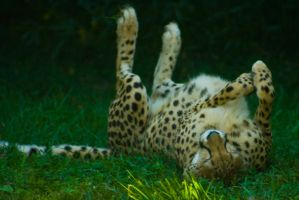 cheetah239 by redbeard31