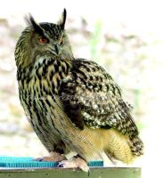 European Eagle Owl by printsILike
