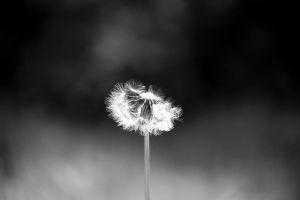 Contrasted Dandelion by gperkins10