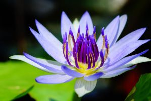 Water lily flower 1 by a6-k
