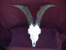 Male Domestic Goat Skull by Minotaur-Queen
