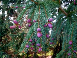 Evergreen and Pinkish Purple? by GlassHouse-1