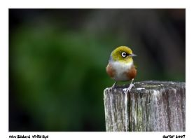 New Zealand Waxeye by carterr